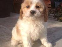 READY TO GO, Gorgeous Cavachon puppies, they are sired