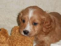 READY TO GO Beautiful Cavapoo (Cavalier King Charles