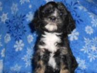 ALL SET TO GO, three Male Cavapoo Puppies. All young