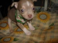READY TO GO Christmas Chihuahua puppies 2 Grey(Sable)4