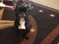 Olive is a one yr old french bulldog female registered