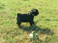 1 Playful Purebred Black Pug Puppy Mom is a Black Pug