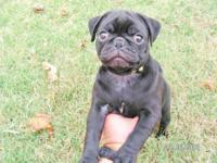 Playful Purebred Black Pug Puppy Mom is a Black Pug and