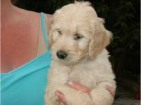 Ready to go! Miniature Goldendoodle puppies, PLEASE