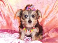 Beautiful tiny Morkie Puppies. Mom is a purebred