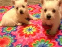 AKC West Highland White Terrier puppies. Super cute and