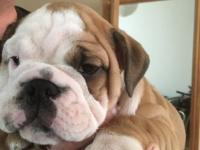 I have left available 1 Male English bulldog pup from a