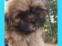 Three gorgeous male Shih Tzu puppies born 8/26/15.