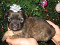 Five Little Girls Pug mix Ready just before Christmas