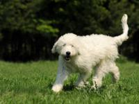 www.labradoodlepeople.com READY IN TWO WEEKS!!! to go