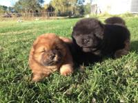 Hello,. I have two male Chow Chow young puppies for