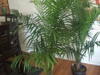 Beautifule 5ft tall real House plants 25.00 Each nice