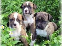 We are having beautiful American Bulldog Puppies