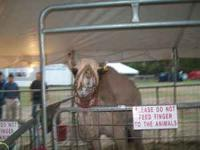 We have camels, donkeys, cows, or any animals you need.