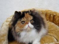 Gorgeous Calico readily available. She is program top