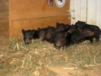 I have a litter of mini pet pigs. mom is on site. dad