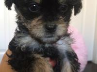 We have 4 T cup Morkies ready for new homes . They have