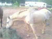 We have a really sweet Palomino for sale, she is 13-15