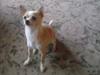 Maggie is a 1-1/2 year old 4.5lb female chihuahua