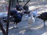 Very RARE Heirloom Turkey's 9 months aged turkeys for