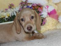 Reba is a beautiful creme brief hair mini dachshund