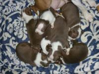 Beautiful litter of red or chocolate akc Boston
