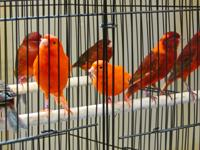 I have 7 canaries for sale.  Some are red factors and
