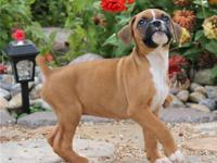 Top quality litter of red and white Boxer puppies,
