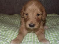 Red and White Mini F1 Goldendoodle are here. Mom is 40