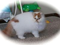 We have a CFA signed up Red and White Persian Male
