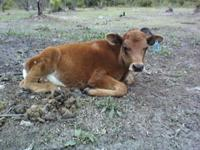 I'm selling a red angus bull calf that is 4 months