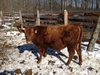 One 2 year old red angus bull, registration #1371840.