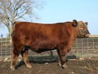 Illinois Performance Tested Bull Sale Feb 23rd in