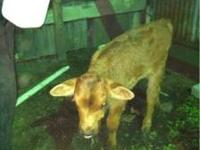 2 week old orphan bull calf. Dad reg. Red angus mom