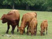 FOUR OPEN REG.RED ANGUS HIEFERS $800.00- $1000.00 TWO