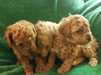 Gorgeous RED teacup/tiny toy male, will certainly be 4