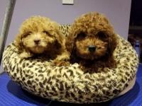 We have Poodle puppies for sale. They are deep red and
