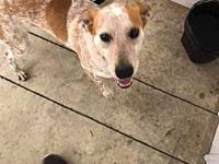 Red's story Red is a gorgeous red heeler mix possibly