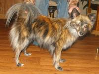 Red Brindle Female Pomeranian. Born: May2010, had 2