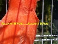 I have few stunning young bright red canaries. A lot of