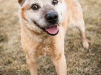 Red is an adorable 7 year old cattle dog. He is so