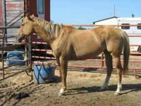 Reg Breeding Stock Paint Mare Red Dun Reg Name: Diaman