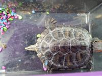 We have 5 male turtles. If you're interested in