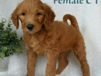 Red F1 Goldendoodle puppies! 2 girls and 2 boys are