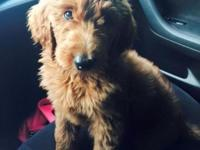 Stunning 14 week old F1B male GoldenDoodle puppy. Solid