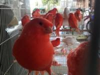 I have attractive red element canaries and mosaics as