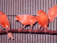 Red factor canaries for sale. High-quality, young,