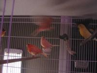 I have young Red Factor Canaries hatched between Feb. &