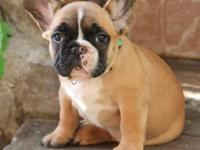 Hello, We have a very handsome Red Fawn Male available.