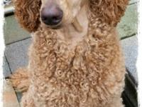 I have a red female standard poodle available to a pet